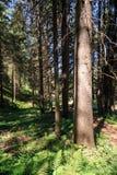 Forest in Trentino Alto Adige. Coniferous forest in Trentino Alto Adige royalty free stock photos