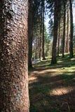 Forest in Trentino Alto Adige. Coniferous forest in Trentino Alto Adige stock images