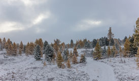 Coniferous forest under snowfall Royalty Free Stock Image