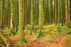Coniferous forest, United Kingdom, England Stock Photos