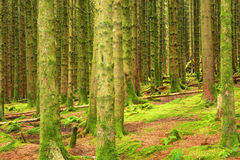 Coniferous forest, United Kingdom, England Stock Photo