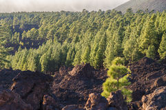 Coniferous forest on volcanic land, Teide National park Royalty Free Stock Photography