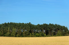 Coniferous forest among a wheat field Stock Photos