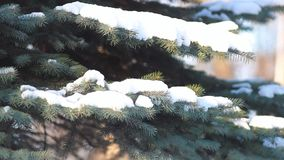 Coniferous forest in winter. The branches of a coniferous tree covered with snow, against a background of a bright blue sky. Christmas landscape - winter stock footage