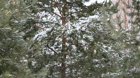 Coniferous forest in winter on  cloudy day. Coniferous forest in winter on a cloudy day stock footage