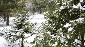 Coniferous forest in winter on  cloudy day. Coniferous forest in winter on a cloudy day stock video