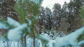 Coniferous forest in winter on a cloudy day. HD stock footage