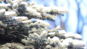 Coniferous forest in winter. The branches of the coniferous tree covered with snow stock video