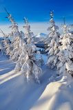 Coniferous forest in winter Royalty Free Stock Images