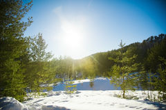 Coniferous forest in winter Stock Photography