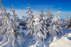 Coniferous forest in winter in mountains Stock Photo