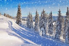 Coniferous forest in winter in mountains Royalty Free Stock Images