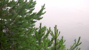 Coniferous Fur Tree Branches in Nature. Coniferous Fur Tree Branches shot with a Sony RX10 IV fps29,97 FHD stock footage