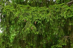 Coniferous green branch of big spruce with cones Stock Image
