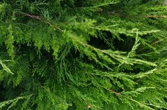 Coniferous green Christmas close up background.