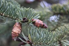 Green pine branch and pine cone Royalty Free Stock Photos