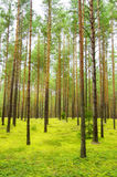 Coniferous green forest landscape Stock Photography