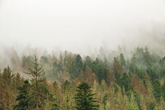Coniferous green trees in the fog, clouds in the mountains stock photography