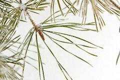 Coniferous pine branch Stock Image