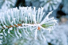 Coniferous pine branches covered with frost. Pine stock photos