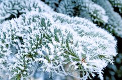 Coniferous pine branches covered with frost. Pine stock photo
