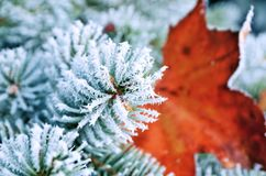 Coniferous pine branches covered with frost. Pine stock photography