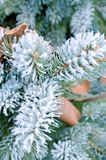 Coniferous pine branches covered with frost. Pine royalty free stock images