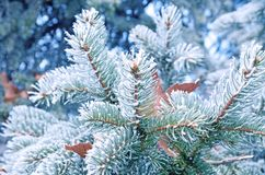 Coniferous pine branches covered with frost. Pine royalty free stock photography