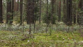 Pine forest panorama. Coniferous Pine forest panorama dolly shot stock video