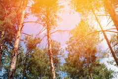 Coniferous Pine Forest with Sun's Rays through Top of Trees Royalty Free Stock Images