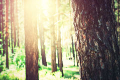 Coniferous Pine Forest with Sunlight through the Trees Royalty Free Stock Photography
