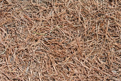 Coniferous pine needles Stock Photography