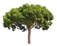 Coniferous pine tree Stock Photos