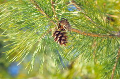 Coniferous pinecone Stock Photography