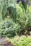 Coniferous plants garden Royalty Free Stock Photos
