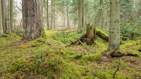 coniferous primeval пущи Стоковые Фото