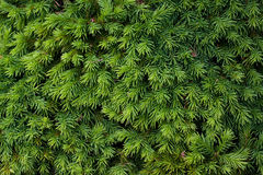 Coniferous Shrub Stock Images