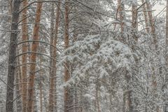Coniferous snowy frosty pine forest in winter.  royalty free stock images