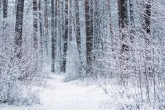 Coniferous snowy frosty pine forest in winter.  royalty free stock photos