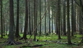 Coniferous stand of Bialowieza Forest Royalty Free Stock Images