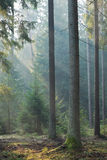 Coniferous stand of Bialowieza Forest in morning Royalty Free Stock Photography