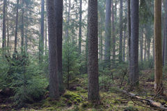 Coniferous stand of Bialowieza Forest in morning Stock Photos
