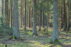 Coniferous stand of Bialowieza Forest in morning Stock Images