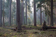 Coniferous stand of Bialowieza Forest in morning Royalty Free Stock Photo