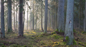 Coniferous stand of Bialowieza Forest in morning Stock Image