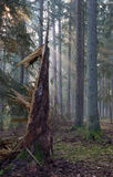 Coniferous stand of Bialowieza Forest in morning Royalty Free Stock Photos