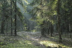 Coniferous stand of Bialowieza Forest in sunset. With pine and spruce and narrow path crossing forest,Bialowieza Forest,Poland,Europe Royalty Free Stock Images