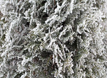 Coniferous Thuja branches covered with hoarfrost royalty free stock images