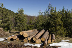 Coniferous timber in a mountain during the winter Royalty Free Stock Image