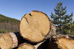 Coniferous timber in the Rhodope Mountain Royalty Free Stock Photography